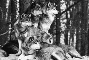 wolf-family-1